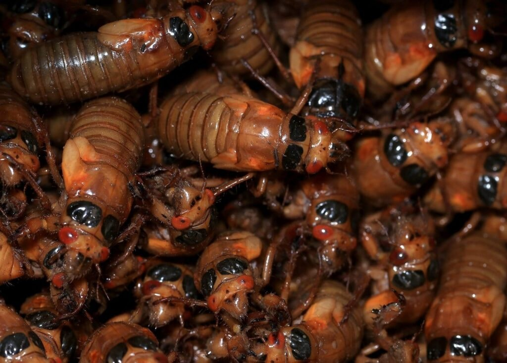 An increase in cicada activity continues to rise with swarms even potentially showing up on weather radars on the east coast.
